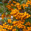 Berries of Pyracantha coccinea (firethorn) - Stockfoto