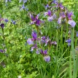Purple iris flowers in a garden - Stockfoto