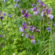 Purple iris flowers in a garden - 图库照片