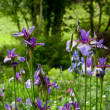Purple iris flowers in a garden - Stock fotografie