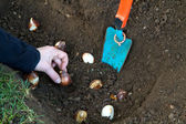Planting tulip bulbs in the garden — Stock Photo