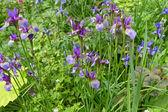 Purple iris flowers in a garden — Stock Photo