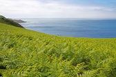 Fern (Dryopteris filix-mas) on the north coast of Jersey, UK — Stockfoto