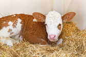 Baby cow calf in straw — Stock Photo