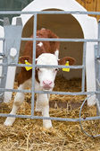 Baby cow calf in a cage — Stock Photo