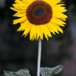 Stok fotoğraf: Blooming Sunflower (Helianthus)