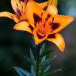 Lily (lilium) flower closeup — Stock Photo #9189115