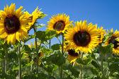 Blooming Sunflowers (Helianthus) — Stock Photo