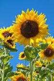 Blooming Sunflowers (Helianthus) — Стоковое фото