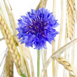 Blooming Cornflower (Centaurea cyanus), isolated — Stock Photo