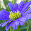Purple daisy wind flower (Brachyscome iberidifolia) — Stock Photo