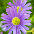 Purple daisy wind flower (Brachyscome iberidifolia) — Stock Photo #9195216