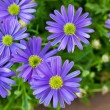 Purple daisy wind flower (Brachyscome iberidifolia) — Stock Photo #9195229