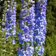 Stock Photo: Bright blue delphinium flower (Delphinium)