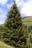 Single coniferous tree in the italian mountains — Stock Photo
