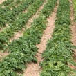 Potatoe Cultivation on the Channel Islands (Jersey, UK) — Stockfoto