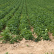 Potatoe Cultivation on the Channel Islands (Jersey, UK) - Stock Photo