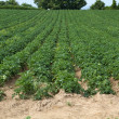 Stock Photo: Potatoe Cultivation on Channel Islands (Jersey, UK)