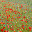 Stock Photo: Blooming poppy field (Papaver Rhoeas) in Bavaria, Germany