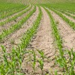 Young corn field with growing leaves - Stock fotografie