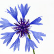 Blooming Cornflower (Centaurea cyanus) - Photo