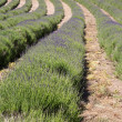 Lavender (Lavandula angustifolia) farming on the channel islands - Lizenzfreies Foto