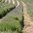 Lavender (Lavandula angustifolia) farming on the channel islands - Photo