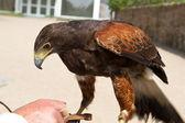 Falcon (Falco) — Stock Photo