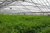 Interiér opuštěné skleníku na jersey, velká británie — Stock fotografie