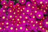 Blooming flower of ice plants (Lampranthus spectabilis) — Stockfoto