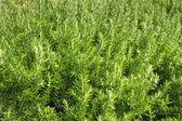 Rosmarino (rosmarinus officinalis) — Foto Stock