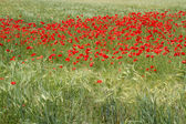 Blooming poppy field (Papaver Rhoeas) in Bavaria, Germany — Stock Photo
