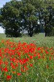 маки перед на пшеничном поле в баварии, германия — Стоковое фото