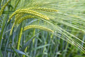 Fresh barley field (Hordeum) in Bavaria, Germany — Stock Photo
