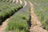 Lavender (Lavandula angustifolia) farming on the channel islands — Stock Photo