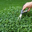 Stock Photo: Trimming box tree plant (Buxus sempervirens)