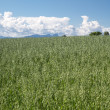 Oat fields in Bavaria, Germany — Stock Photo