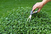 Trimming a box tree plant (Buxus sempervirens) — Stock Photo