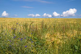 Fresh barley field (Hordeum) with corn flowers in Bavaria, Germany — Stock Photo