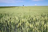 Wheat field in Bavaria, Germany — Stockfoto