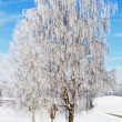 Foto Stock: Birch trees with hoarfrost