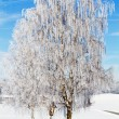 图库照片: Birch trees with hoarfrost