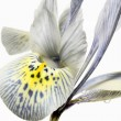 Iris reticulata – Closeup — Stock Photo