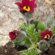 Blooming Pasqueflower - Closeup - 图库照片