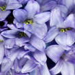 Blue Hyacinth - Closeup — Stock Photo
