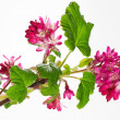 Ribes Sanguineum Blossoms — Stock Photo #9265383