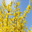 Blooming Forsythia — Stock Photo #9265487