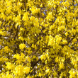 Blooming Forsythia — Stock Photo #9265516