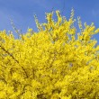 Blooming Forsythia — Stock Photo