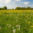 Stock Photo: Spring meadow with blooming dandelion (Taraxacum)